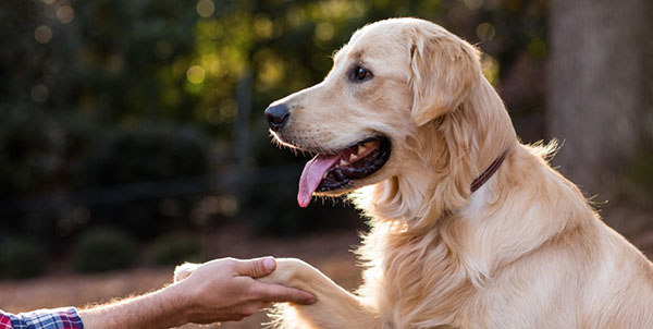 Lab touching hand with paw